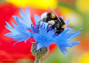 A bumblebee on top of a corn flower aginst a background of colored flowers
